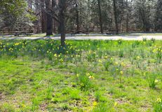 Park Displays Daffodils, Spring Grass, and Picnic Tables stock image