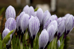Spring holiday crocus. Some multi-colored snowdrops, crocuses , against a green grass Stock Photo