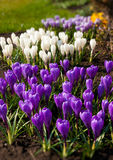 Spring holiday crocus flowers Stock Image