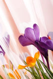 Spring holiday crocus flowers. In the vase Royalty Free Stock Photos
