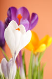 Spring holiday crocus flowers. Closeup Royalty Free Stock Photos
