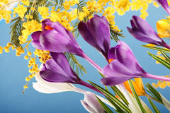 Spring holiday crocus flowers. Closeup Royalty Free Stock Photography