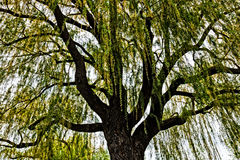 Weeping willow in Spring. Weeping willow (Salix babylonica) tree in springtime stock image