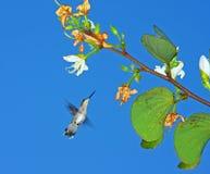 Spring Humming bird. Ruby Throated Humming bird, female Stock Photos
