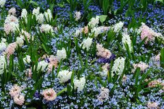 Spring hyacinth Stock Photos