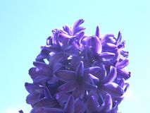 Spring Hyacinth. Photo of a purple flower framed by the blue sky stock photos