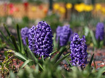 Spring Hyacinth Royalty Free Stock Photo