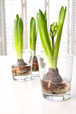 Spring hyacinth bulbs in glass containers Royalty Free Stock Image