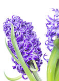 Spring hyacinth flower isolated Royalty Free Stock Photography