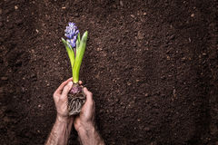Spring - Hyacinth flower in man hands on soil background Royalty Free Stock Image