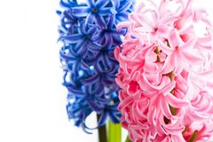 Spring hyacinth flower on white background. Spring blue and pink hyacinth flower on white background Royalty Free Stock Photos
