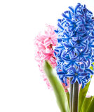 Spring hyacinth flower on white background Royalty Free Stock Photography