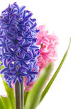 Spring hyacinth flower on white background Royalty Free Stock Photo