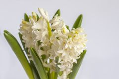 Spring hyacinth flowers blooming at springtime. Spring white hyacinth flowers blooming at springtime stock photography