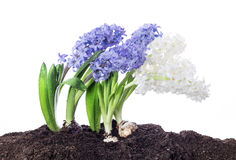 Spring - Hyacinth flowers growing in soil - isolated on white Royalty Free Stock Images
