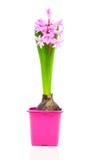 Spring hyacinth in pot Royalty Free Stock Photo