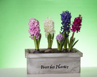 Spring flower in box. Spring hyacinth in tree box on green background Royalty Free Stock Photos