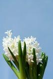 Spring hyacinths Royalty Free Stock Image