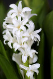 Spring Hyacinths Royalty Free Stock Photography
