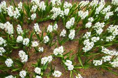 Spring hyacinths field.  Flowering spring field Royalty Free Stock Photography