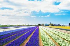 Spring hyacinths field.  Flowering spring field Stock Images
