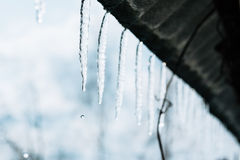 Spring icicles Royalty Free Stock Image