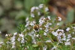 Honey bee in blooming thyme royalty free stock photography