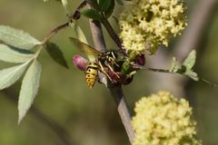 Wasp in a blooming elderberry stock photo