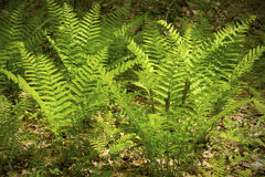 Spring image of interrupted fern, Osmunda claytoniana, in Shenip Royalty Free Stock Photos