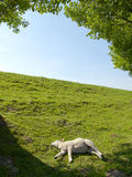 Spring image of a resting young lamb Stock Image