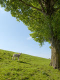Spring image of a young lamb Stock Photography