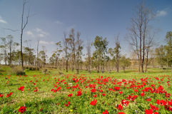 Free Spring In A Blooming East Negev Desert Stock Photo - 13526290