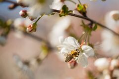 Free Spring In Cherry Orchard. Stock Photos - 182266193