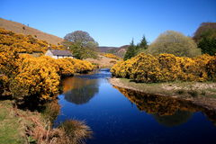 Spring in Ireland. A beautiful and rare photo of an idealistic Ireland in spring. In the foreground flowering gorse bushes line a deep blue river, in the Stock Photography