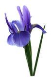 Spring Iris Royalty Free Stock Photos