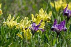 Spring iris flowers royalty free stock photos