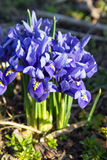 Spring iris flowers Stock Images