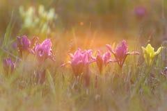 Spring iris flowers stock image