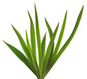 Spring Iris leaves Stock Image