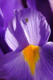 Spring Iris Macro Royalty Free Stock Images