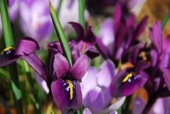 Spring irises Royalty Free Stock Photos