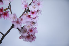 Free Spring Is Coming,cherry Blossoms Is Blooming. Stock Photography - 49769942