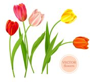 Spring Isolated tulips flowers Royalty Free Stock Photo