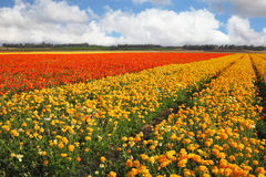 A spring in Israel. Flower spring in Israel. A huge field flowers on a farm on cultivation of buttercups Stock Photography