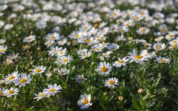 Daisies flowers in the field. Spring in Istanbul stock image