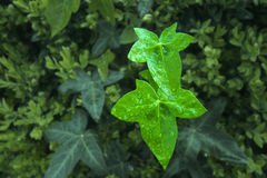 Spring Ivy. Ivy leaves emerging in Spring royalty free stock photos