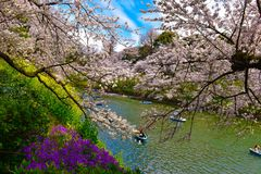 Japanese sakura flowers cherry blossom. Spring in japan parks with cherry blossom royalty free stock image