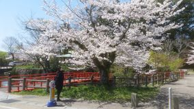 Spring Japan. Sakura  Spring  japan Royalty Free Stock Photos