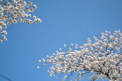Spring in Japan. Sakura and sky in spring Stock Photos