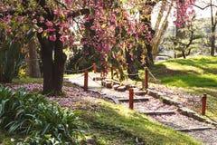 Spring Japanese garden. Sakura blossoms. Royalty Free Stock Photo